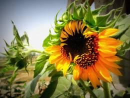  Blooming Sunflower!