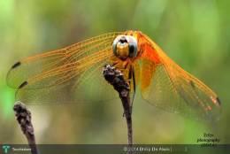 DRAGONFLY - දිල්ලා Photography - Photography   Dhilip De Alwis (දිල්ලා)   Touchtalent