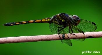 Dragonfly - Photography | Pushkar Mitra | Touchtalent