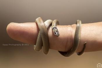 Snake On Human Finger - Photography | Vineet Pal | Touchtalent