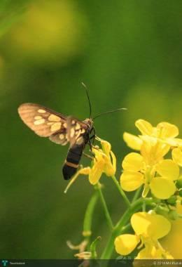 Flower Of Mustard With Little Butterfly - Photography | Md Rubel | Touchtalent