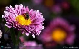 Honey Bee On Flower - Photography | M.s. Johnson | Touchtalent